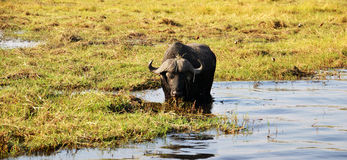 Bufalo in the Chobe River. Chobe National Park, in northern Botswana, has one of the largest concentrations of game in Africa Stock Photo