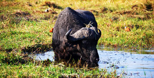 Bufalo in the Chobe River. Chobe National Park, in northern Botswana, has one of the largest concentrations of game in Africa Royalty Free Stock Photos