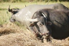 Bufalo d'acqua immagine stock