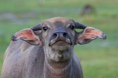 Bufalo d'acqua Immagine Stock Libera da Diritti
