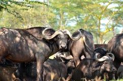 Bufalo d'acqua Fotografia Stock