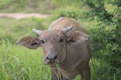 Bufalo d'acqua asiatico allevato pascolo Fotografia Stock Libera da Diritti
