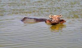 Bufalo d'acqua asiatico domestico in acqua di uno stagno con il fronte ed in una certa parte del corpo sopra superficie di acqua immagini stock libere da diritti