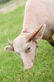Bufalo d'acqua dell'albino Immagini Stock
