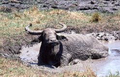 Bufalo d'acqua in foro di acqua immagini stock