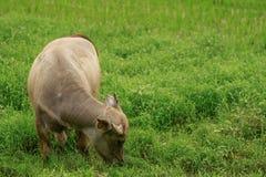 Bufalo d'acqua a Guillin Fotografia Stock Libera da Diritti
