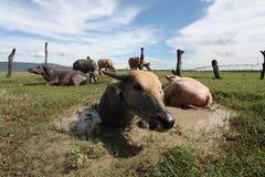 Bufalo d'acqua: La spina dorsale della Tailandia Fotografia Stock