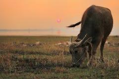 Bufalo d'acqua: La spina dorsale della Tailandia Immagine Stock Libera da Diritti