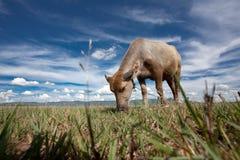 Bufalo d'acqua: La spina dorsale della Tailandia Immagini Stock
