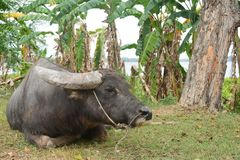 Bufalo d'acqua nero asiatico con il campo vicino allo stagno di acqua fotografia stock