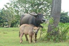 Bufalo d'acqua nero asiatico con il figlio immagini stock