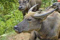 Bufalo d'acqua, PA del Sa, Vietnam Fotografia Stock