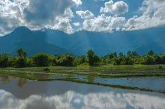 Bufalo d'acqua in riso Paddy Field su cielo blu nuvoloso Immagini Stock Libere da Diritti