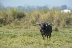 Bufalo d'acqua selvaggio aggressivo al parco nazionale di kazhiranga, l'Assam fotografia stock