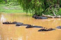 Bufalo d'acqua selvaggio che bagna nel lago nello Sri Lanka Immagini Stock Libere da Diritti