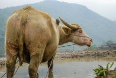 Bufalo d'acqua su un giacimento del riso Fotografie Stock Libere da Diritti