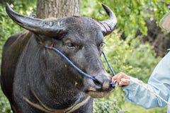 Bufalo d'acqua tailandese tirato dall'agricoltore Fotografia Stock