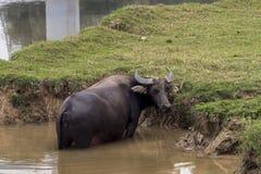 Bufalo de Agua Bubalus bubalis arkivfoto