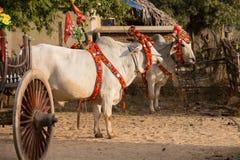 Bufalo decorato Bagan, Myanmar Fine in su Immagini Stock Libere da Diritti