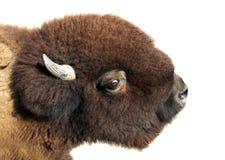 Bufalo del bisonte americano Immagini Stock