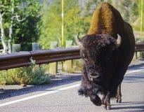 Bufalo del bisonte americano nel parco nazionale di Yellowstone all'erba fotografia stock libera da diritti