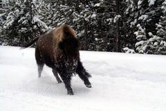 Bufalo del bisonte che ottiene vispo a Yellowstone Fotografia Stock Libera da Diritti
