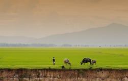 Bufalo del Vietnam ed il giacimento del riso fotografia stock libera da diritti