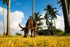 Bufalo dell'acqua che mangia erba sotto il cocco Fotografia Stock