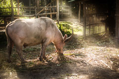 Bufalo dell'albino Immagine Stock Libera da Diritti