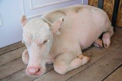 Bufalo dell'albino Immagini Stock Libere da Diritti