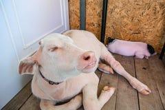 Bufalo dell'albino Fotografia Stock Libera da Diritti
