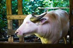 Bufalo dell'albino Fotografie Stock