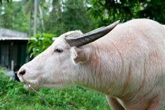 Bufalo dell'albino (bufalo bianco) Fotografia Stock Libera da Diritti