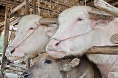 Bufalo dell'albino (bufalo bianco) Fotografia Stock