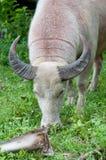 Bufalo dell'albino (bufalo bianco) che mangia erba Fotografia Stock