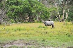 Bufalo di acqua Fotografie Stock