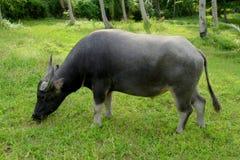 Bufalo di acqua che mangia erba Fotografia Stock Libera da Diritti