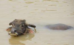 Bufalo di acqua che si rinfresca in un fiume Immagine Stock Libera da Diritti