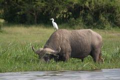 Bufalo di acqua ed uccello, Uganda Immagine Stock Libera da Diritti