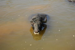 Bufalo di acqua Nepal Fotografia Stock