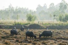 BUFALO DI AGRICOLTURA DELLA TAILANDIA ISAN UDON THANI Fotografia Stock Libera da Diritti