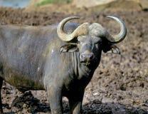 Bufalo di capo Fotografia Stock