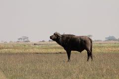 bufalo di capo Fotografie Stock
