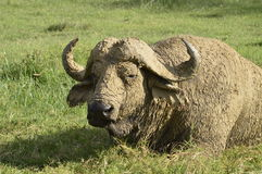 Bufalo di capo Immagini Stock Libere da Diritti
