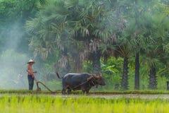 Bufalo di controllo dell'agricoltore per arare l'azienda agricola del riso Fotografia Stock Libera da Diritti