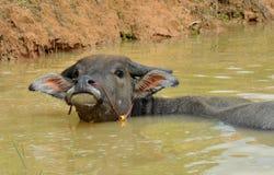 Bufalo di galleggiamento Fotografia Stock Libera da Diritti