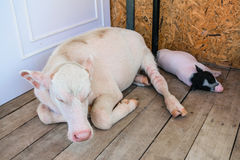 Bufalo e maiale dell'albino Fotografia Stock