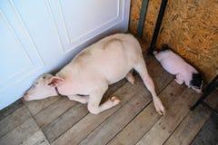 Bufalo e maiale dell'albino Fotografia Stock Libera da Diritti