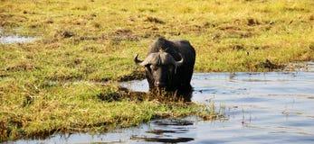 Bufalo en el río de Chobe Foto de archivo