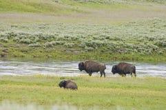 Bufalo iconico al lato del fiume di yellowstone fotografia stock libera da diritti